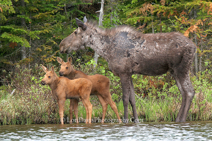 #M36 Cow Moose with Twin Calves