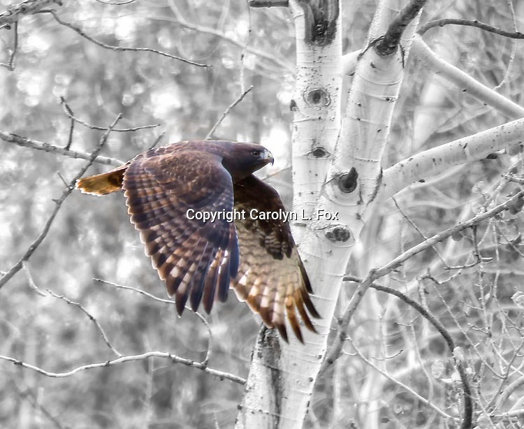 A Harris Hawk flies in front of Aspen Trees.  The background has been converted to black and white.