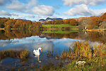 Great Britain, Cumbria, near Ambleside: Lake District National Park, Swan on Loughrigg Tarn and the Langdale Pikes behind in Autumn