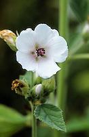 Echter Eibisch, Heilwurz, Arznei-Eibisch, Althaea officinalis, Marsh Mallow, White Mallow, marshmallow