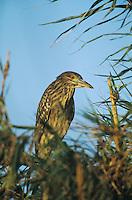 Black-crowned Night-Heron, Nycticorax nycticorax,immature, Welder Wildlife Refuge, Sinton, Texas, USA, June 2005