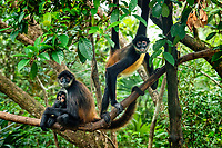 Geoffroy's spider monkey, Ateles geoffroyi, mother and infant, in rainforest, Belize