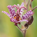 Tricyrtis formosana, late August. Commonly known as toad lily.