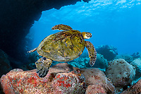 green sea turtle, Chelonia mydas, under Lone Tree Arch, a dive site on the Kona Coast, Big Island, Hawaii, USA, Pacific Ocean