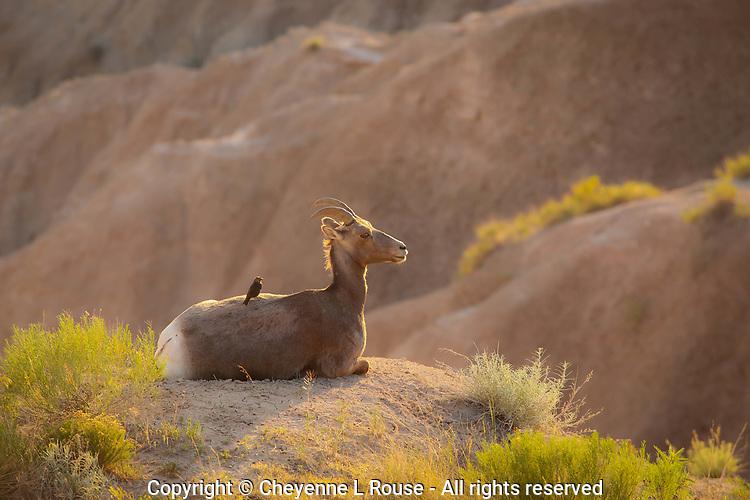 Badlands Bird Perch - South Dakota - Badlands NP