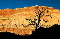 Tree silhouette against a brilliant wall, Capitol Reef National Park, Utah.