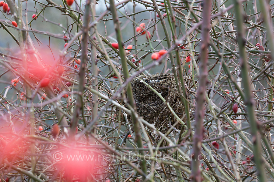Vogelnest, Nest, Napfnest in einem Strauch, Rosenstrauch, Rose, Amselnest, Amsel, Schwarzdrossel, Turdus merula, Blackbird, Merle noir