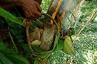 """The honey basket, """"pendi"""", is filled with the honey from the harvest. It is lowered from the tree using a rope made of lianas. Honey is important in the Likouala and for the N'Bensele clan who specializes in this activity. August and September are the big honey season in these rainforests with big marshy zones that favor the proliferation of flowers and bees' nests. ///Le panier à miel «pendi» est remplit du miel de la récolte. Il est descendu de l'arbre à l'aide d'une corde de liane. Le miel est important dans la Likouala et le clan N'Bensélé  qui sont les spécialistes de cette activité. En août et septembre, c'est la grande saison du miel dans ces forêts humides avec des zones marécageuses importantes qui favorisent la prolifération des fleurs et des nids d'abeilles."""