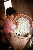 Rolandia, Parana State, Brazil. Woman cotton worker filling sacks with cotton from a basket.