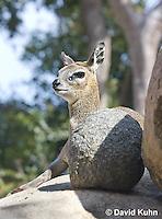 0604-1109  Klipspringer (Rock Jumper Antelope), Small Antelope on Boulders, Oreotragus oreotragus  © David Kuhn/Dwight Kuhn Photography
