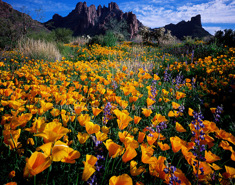 Lupine and Poppies flowers, Organ Pipe Cactus National Monument, Ajo Mountains