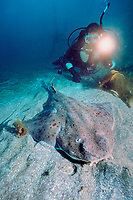 female diver and camouflaged Pacific angel shark, Squatina californica, on sandy bottom, California, East Pacific Ocean