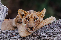 Africa, Zambia, South Luangwa National Park, resting of lion cub