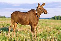 An female adult Eurasian elk, Alces alces, called Lasca (caress) grazing in a meadow near the Sumarokova Eurasian elk farm. Kostroma, Russia, Arctic