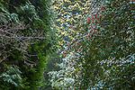 Snowy cedars at the Arnold Arboretum in the Jamaica Plain neighborhood, Boston, Massachusetts, USA