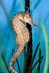 Lined seahorse, full body view vertical