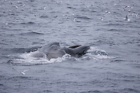 Humpback whales Megaptera novaeangliae Lunge feeding showing expanded throat and baleenpleats. Kvitøya, Arctic ocean