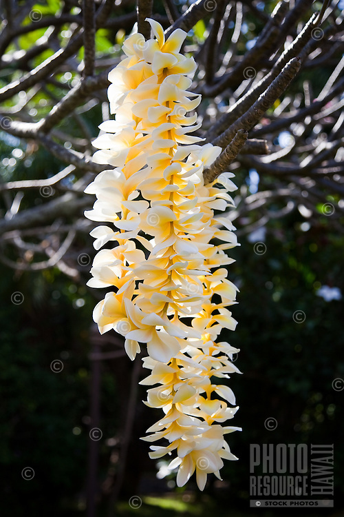Fragrant plumeria leis hanging from a tree branch