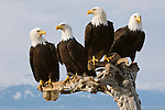 Four eagles perched together on the Kenai Peninsula in Alaska.