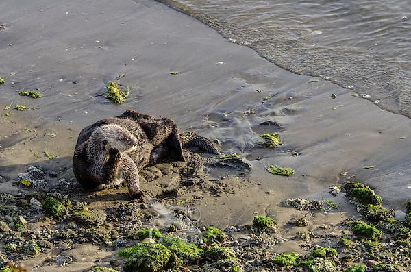Southern Sea Otter (Enhydra lutris nereis) resting on beach.  California.