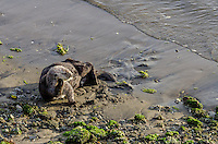 Southern Sea Otter (Enhydra lutris nereis) resting on beach.  California.