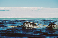 narwhals, Monodon monoceros, Northwest Territories, Canada (Arctic)