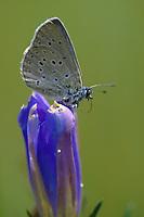 Lungenenzian-Ameisenbläuling, Kleiner Moorbläuling, Weibchen bei der Eiablage, Ei, Eier an der Blüte von Enzian, Phengaris alcon, Maculinea alcon, Glaucopsyche alcon, Alcon blue, Alcon large blue, egg, eggs, L'Azuré des mouillères, le Protée, Bläulinge, Lycaenidae, blues