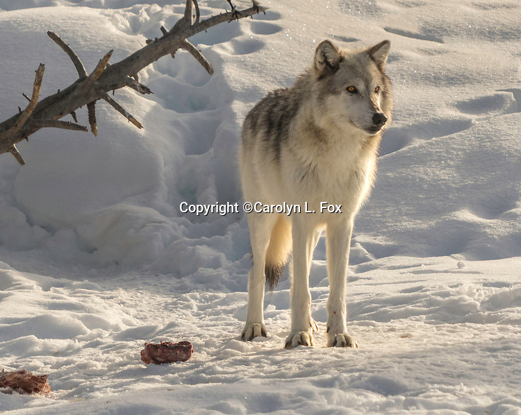 A white wolf stands in the snow.