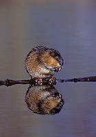 Muskrat. Food is commonly towed to a feeding platform to eat..North America..(Ondatra zibethicus).