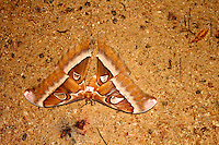 Goliath Moth in Iron Range National Park, Queensland
