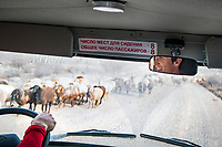 The view of passing sheep through the front window of a car while driving through Kyrgyzstan.