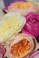 Roses mixture pastel roses of many types including English, hybrid tea, David Austin, pinks, peach, apricot, cream, whit, fill entire frame for calendar quality
