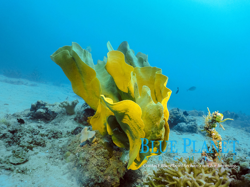 Commerson's frogfish,or giant frogfish, Antennarius commerson, being camouflaged among yellow elephant ear sponge, Ianthella basta, Borneo, Malaysia, Indo-Pacific Ocean