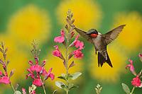 Ruby-throated Hummingbird (Archilochus colubris), adult male in flight feeding on Sage (Salvia sp.) flower, New Braunfels, Central Texas, USA