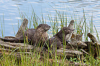 The River Otter (Lutra canadensis) pups watch carefully as mom catches fish and delivers them to the young. Trout Lake, NE Yellowstone.