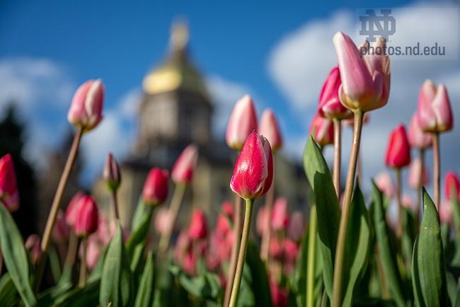 April 13, 2020; Tulips on Main Quad (Photo by Matt Cashore/University of Notre Dame)