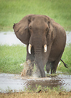 Nature photograph of a single African elephant (Loxodonta africana) walking in water in Tarangire National Park, Tanzania