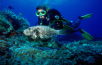 Horizontal image of a female diver up close to a large map puffer (arothron mappa) off the edge of a reef ridge - Witu ISlands - Bismarck Sea - Papua New Guinea.