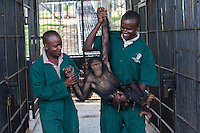 Female infant chimp, Sara, is carried by care givers after being sedated so Ngamba's veterinarian, Dr Joshua Rukundo, could examine and treat pox in her mouth at the  Ngamba Island Chimpanzee Sanctuary in Lake Victoria, Uganda. Sara, who has been on Ngamba Island since 2012, is a little chimp with a clear face. She was confiscated from a trader in Southern Sudan. At the time of her arrival, she was in a bad condition. Her eyes were puffy due to dehydration and she had a big hard stomach with no hair on it.<br /> She pretty much wants to own everything, she screams until she is given what she wants including sticks and all other small enrichment materials. When she is scared, Sara runs to her surrogate mother, Connie. She likes riding on Connie's back. 03/15 Julia Cumes/IFAW