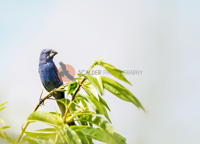 Male Blue Grosbeak perched on  branch