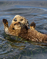 Southern Sea Otter mom dragging young pup out of shallow water where they have drifted while resting.  California coast.