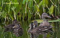 DG08-508z  Mallard Duck Mother and Young Ducklings, Anas platyrhynchos