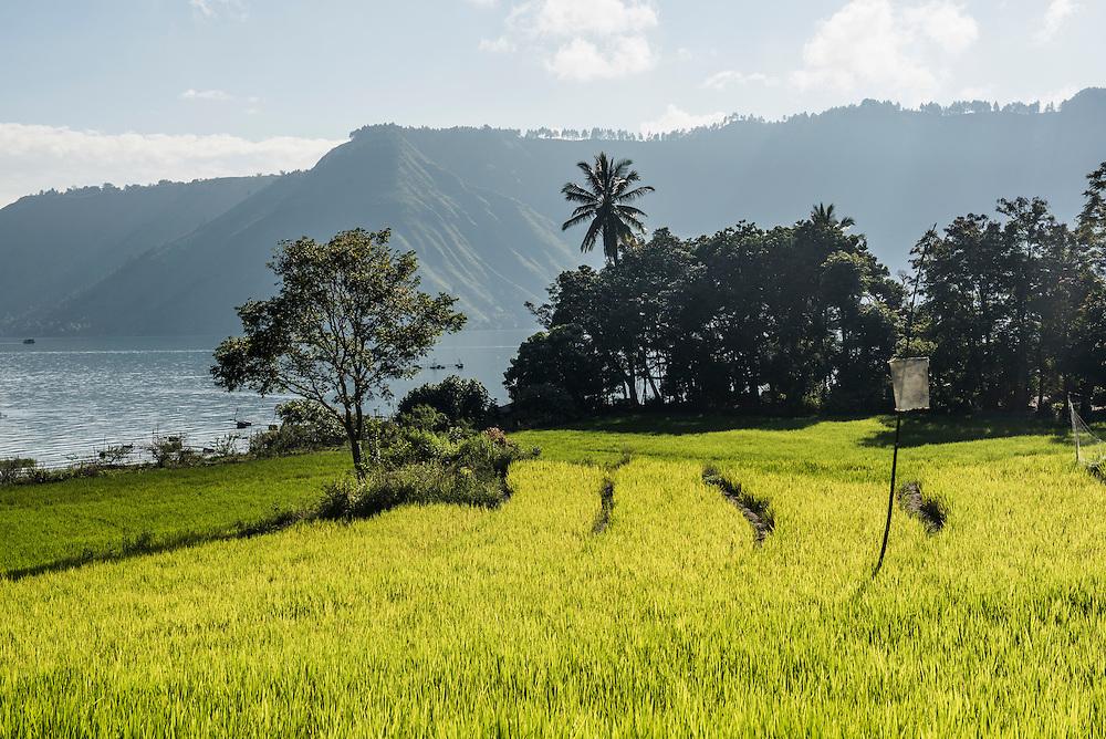 Terraced Rice Paddy Fields At Lake Toba Danau Toba North Sumatra Indonesia Matthew Williams Ellis Travel Photography Archives