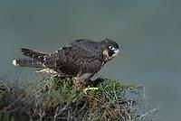 527950051 a wild federally endangered juvenile peregrine falcon falco peregrinus perches on a cliff face along the pacific ocean at torrey pines state preserve la jolla california