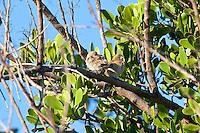 Nutmeg Mannikin, Townsville, Queensland, Australia