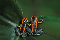 GOLFODULCEAN POISON FROGS..Native to Western Costa Rica. Captive..Phyllobates vittatus.