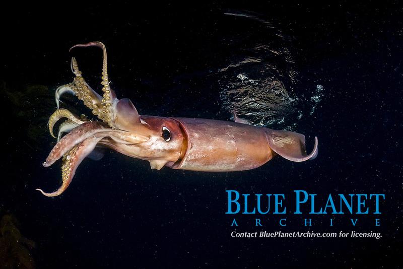 Humboldt Squid or jumbo squid, Dosidicus gigas, Sea of Cortez, Baja, Mexico, Eastern Pacific Ocean