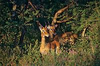 Impalas (Aepyceros melampus) bucks, Serengeti National Park, Tanzania.  June.