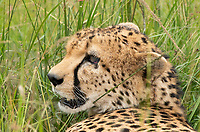 A Cheetah, Acinonyx jubatus jubatus, rests in the shade of a tree in Maasai Mara National Reserve, Kenya