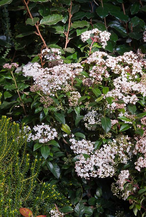 Viburnum tinus Eve Price (AGM) in spring bloom with pink buds and white flowers. Aka Laurustinus Eve Price